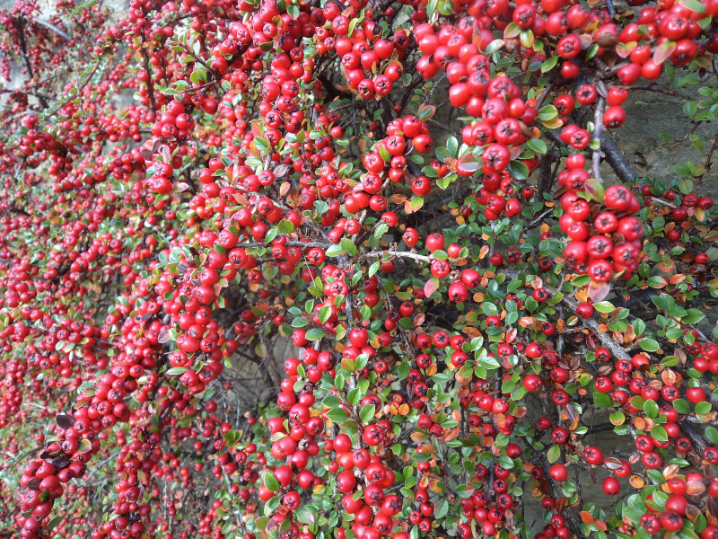 Berried Treasure Five Shrubs You Shouldn T Be Without Buy Trees