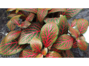 fittonia, plants, house plants, houseplants, terrarium, bottle garden, indoor gardening,