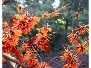 Hamamelis, witch hazel, scented winter flowers, autumn garden, winter garden, flowering, gardening,