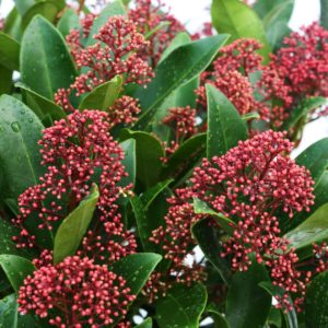 Skimmia, shrubs, garden plants with berries, winter berries, berries, gardening, gardens, colour in the winter garden, shrubs, plants,