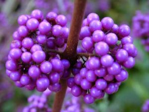 callicarpa, berries, purple berries, autumn colour, berries for the garden, berries for birds, gardening, garden, shrubs,