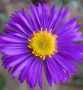 aster, plants for shade, perennials, purple. mauve, purple flowers, shade loving plants, gardening, shade,