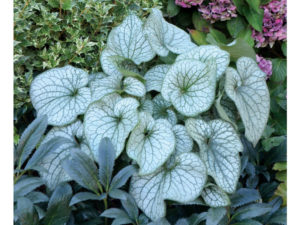 brunnera, groundcover, silvery foliage, shade tolerant, shade lover, plants for shade, gardening, planting,