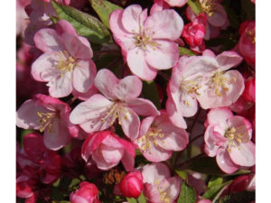 Malus 'Coralburst', crab apple, fruiting tree, small tree, patio pot, Malus, small garden, fruit,