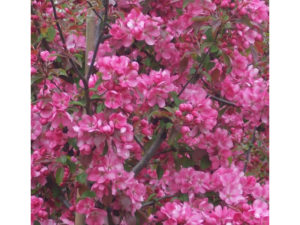 Malus 'Rudolph', Rudolph, crab apple, small tree, garden tree, wildlife attracting, fruit for birds, perfectplants.co.uk,