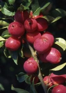 Malus 'Pink Glow', crab apple, crab apple tree, crab apple jelly, Malus, Pink glow, gardening, gardens, grow your own,