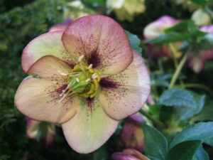 hellebore, helleborus, winter flowers, shade loving, plants for shade, perennials, gardening,