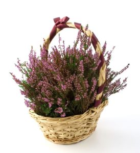 Heather, gift, xmas, christmas present, xmas shopping, basket, plant, plant in a basket, perfectplants.co.uk,