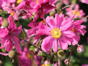 japanese anemone, shade tolerant, shade resistant, flowers for shade, plants for shade, gardening, perennials,
