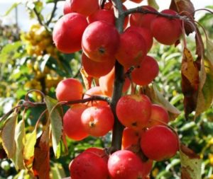 Malus 'Jelly King', crab apple, trees for wildlife, fruit, crab apple jelly, apple tree, garden, gardening, perfectplants.co.uk,