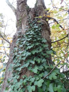 hedera, ivy, useful natural twine, climbing plant, use ivy as a natural twine,
