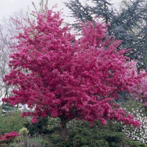 Malus 'Profusion', Malus 'Profusion Improved, crab apple, tree for a small garden, crab apple tree, plant a tree, perfectplants.co.uk,