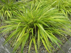 Hakonechloa, hakone, ornamental grass, grass for shade, aureola, gardening, plants for shade, perfectplants.co.uk,