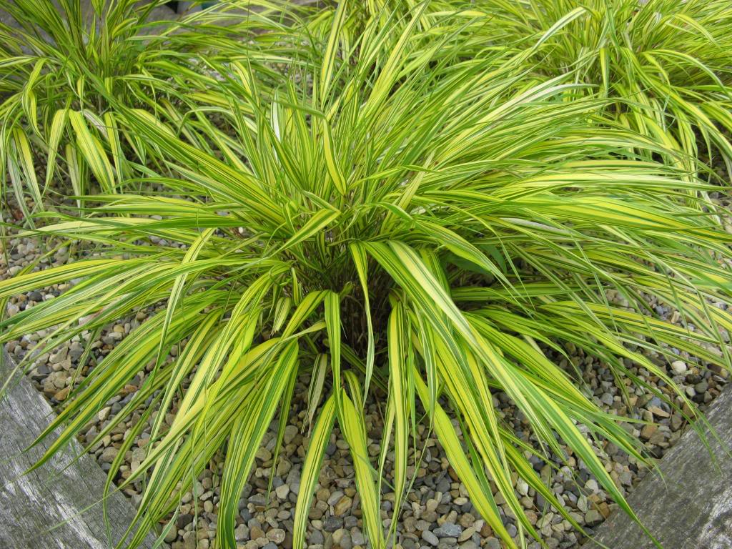 10 beautiful plants for shade in the garden bring gloomy for Ornamental grass plants for shade