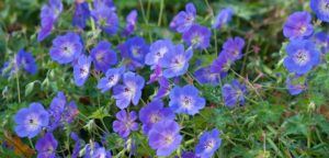 Hardy geranium, rozanne, geranium, plants for shade, shade in the garden, flowers for shade, gardening,