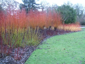 cornus, winter stem colour, winter plants, outdoors, health, depression, new year's resolutions,