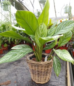 Aglaonema 'Stripes', Aglaonema, house plant, houseplant, air filtering, health, bacteria, filtering, toxins,