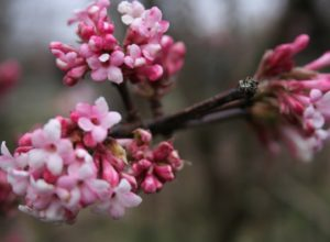 Viburnam bodnantense 'Dawn', Viburnam 'Dawn', pink flowers, winter flowers, shrub, winter, garden, flowering,