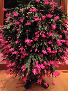 christmas cactus, pink Schlumbergera, flowering cactus, festive flowers, christmas gifts, presents,