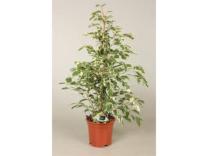 Ficus benjamina, Ficus, house plant, houseplant, air filtering, toxins, healthy, man flu, flu, clean air,