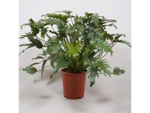 Philodendron, Philodendron 'Xanadu', air cleaning, house plants, houseplants, filtering, health, man flu,