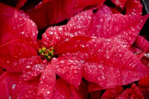 Poinsettia, Christmas flower, red flower at Christmas, gift, plants, house plants, present,
