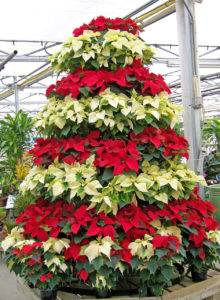 Poinsettias, bracts, flowers, christmas blooms, flowers at christmas, present, gift,