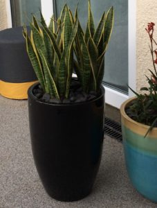 Sansevieria laurentii, sansevieria, house plant, houseplant, architectural, health, air filtering plant, man flu, colds, removing toxins, filtering the air,