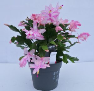 schlumbergera, christmas cacti, pink, evergreen, house plant, christmas,