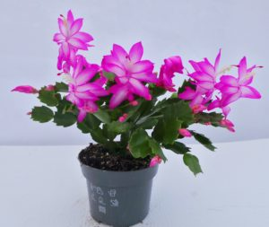 schlumbergera, christmas cactus, christmas cacti, indoor flowers, christmas, house plant, flowering at Christmas,