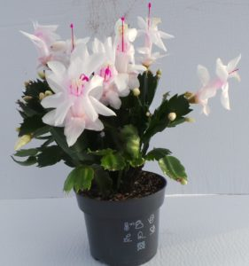 schlumbergera, white schlumbergera, christmas cactus, christmas cacti, house plant, festive plants, flowers at Christmas,