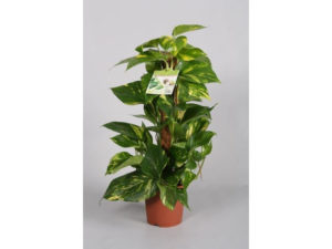 Scindapsus, house plant, houseplant, air cleaning, man flu, health, removing toxins, bacteria, Christmas, www.perfectplants.co.uk,