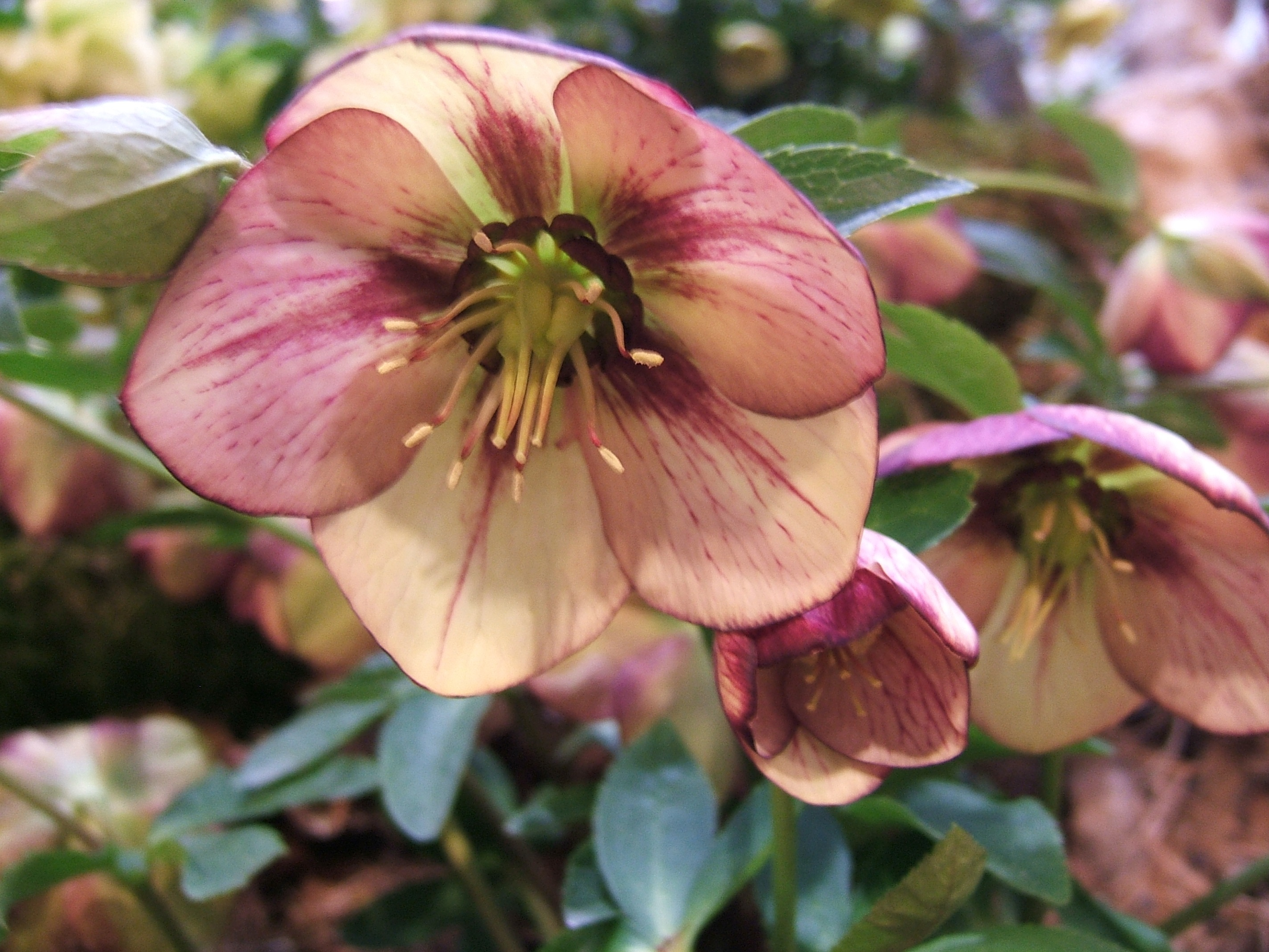 Hurrah For Hellebores 6 Reasons To Love The Bleak Mid Winter In The