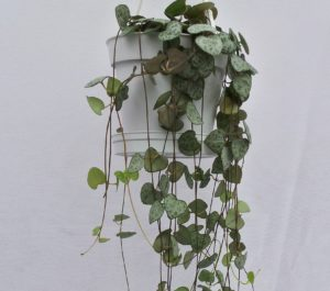 ceropegia woodii, hearts on a string, heart shaped leaves, valentines day gift, Valentine's, living gift, pot plant,