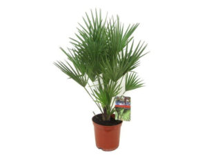 Chamaerops humilis, palm tree, hardy palm, half hardy, palm, uk palm, exotic, fan palm,