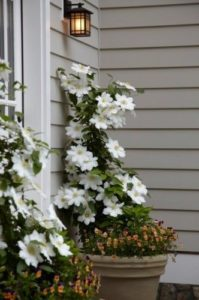 Clematis, planting a clematis in a pot, climber in a pot, climbing plant, watering clematis,