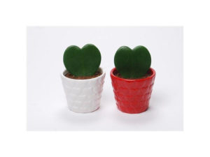 Valentines, living gift, hoya, gifts for Valentine's Day, Valentines presents, pot plant,