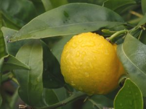 Lemonquat, orangequat, limequat, hybrid fruit, unusual fruit, fruit tree, modern fruit, grow your own,