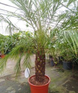 pygmy date palm, phoenix roebelenii, palm tree, phoenix, indoor palm, palm, house plant, office plant, perfectplants.co.uk,