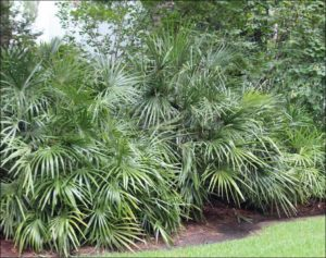 Rhapidophyllum hystrix, hardy palm, uk hardy, palm tree, palm, gardening,