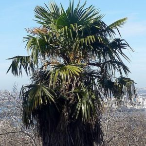 trachycarpus, trachycarpus fortunei, palm tree, palm, garden palm, hardy palm, foliage, wind damage, perfectplants.co.uk,
