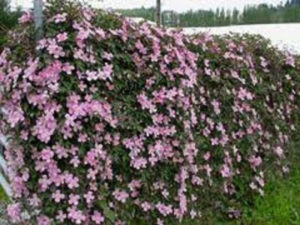 clematis montana, clematis, climber, climbing plant, gardening, growing, fences, greenery, perfectplants.co.uk,