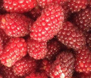 tummelberry, tummelberries, scottish fruit, hybrid fruit, grow your own, berries, fruit bushes,