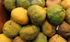 ugli fruit, ugli, hybrid fruit, fruit crosses, grapefruit, orange, tangering, try something new, grow your own,