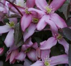 clematis, climbers, climbing plants, flowers, gardens, gardening, growing, vertical, perfectplants.co.uk,