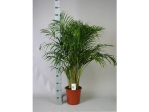 areca palm, Butterfly Palm, Dypsis Lutescens, areca, indoor palm, palm, house plant,