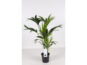 kentia palm, Howea forsteriana, indoor palm, palm tree, palm, house plant, air cleaning plant,