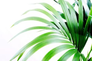 palm palm tree, house plant, office plant, interior design, good health, air cleaning, removing toxins,