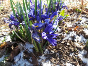 dwarf iris, iris reticulata, winter flowers, crocus, daffodils, flowering in snow, snowy weather, snow, garden, flowers,