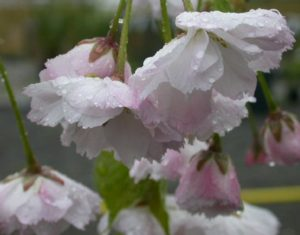 Prunus 'Shogetsu', blushing bride, prunus, cherry tree, flowering cherry, ornamental cherry, spring blossom, blossom tree, flowers, spring, prunus, cherry, tree, gardens, gardening, rhsagm,